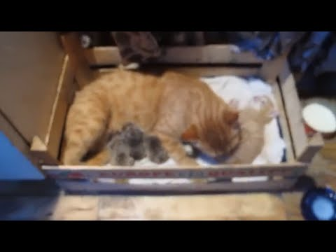Mother cat adopts orphaned hedgehogs