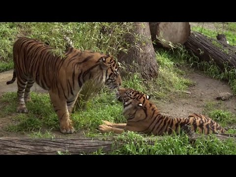 Endangered Tiger Finds A Girlfriend In Effort To Save The Species