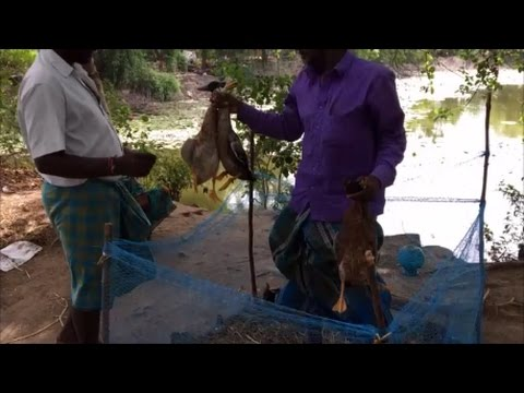 Cooking 4 ducks in My Village  - Cooking ducks in nalla ennai - My Village My Food