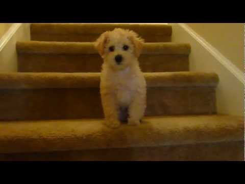 Barney the Schnoodle: Going Downstairs