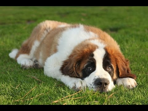 Top 25 Dogs Breeds With the Most Health Issues