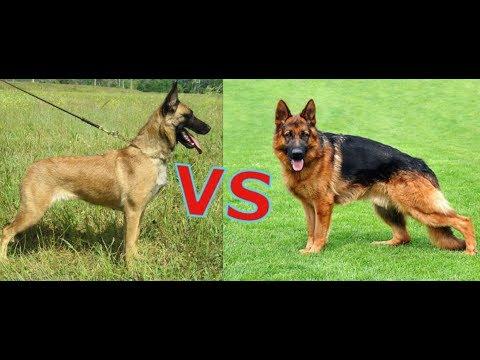 какая собака круче немецкая овчарка или Бельгийская ...