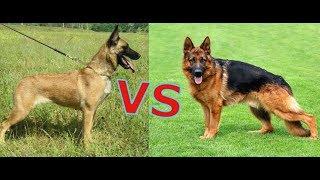 какая собака круче немецкая овчарка или Бельгийская овчарка малинуа