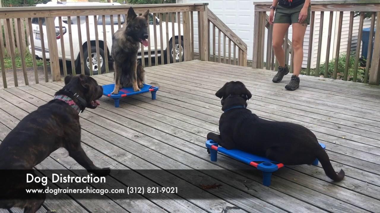 Reactive Dog Training Chicago