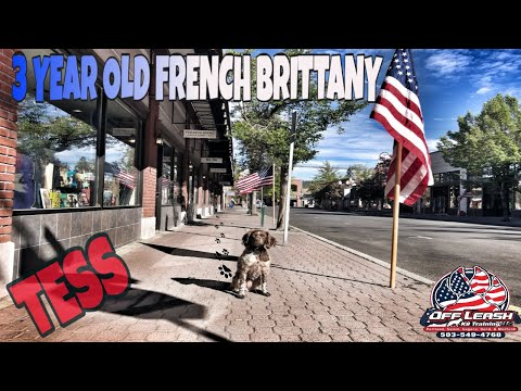 TESS 3 YEAR OLD FRENCH BRITTANY| BEST DOG TRAINING IN OREGON|