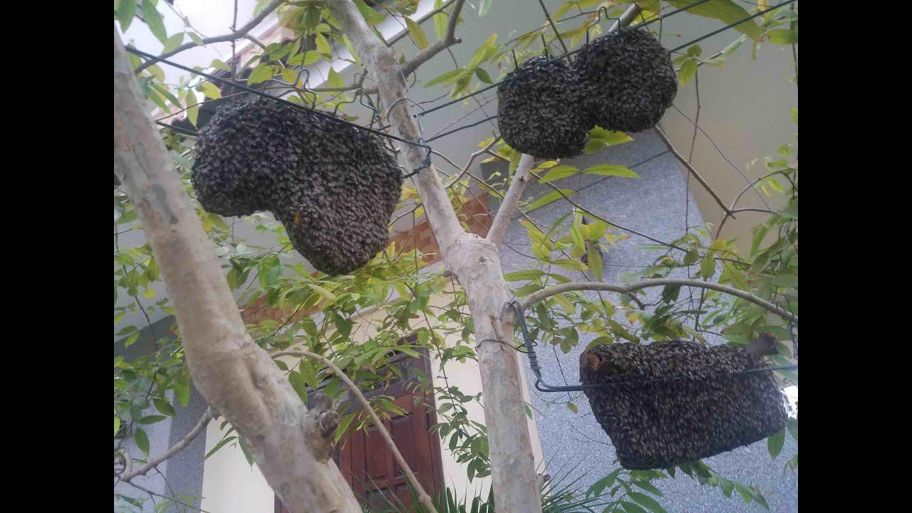 Nuôi ong ruồi (Dwarf honey bee keeping), P.1. Cách bắt và di chuyển về sân vườn