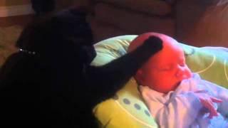 قطه تقوم بدور الأم تجاه طفل