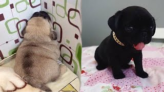 Funniest and Cutest Pug Dog Videos Compilation 2020  Cutest Puppy #1