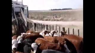 Loading cattle to transportation - English