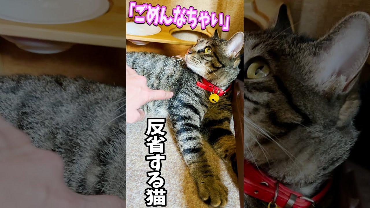 粗相をして反省する姿が可愛い猫 #Shorts