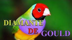 Diamante De Gould Dicas de Criação #PássaroseCantosOficial