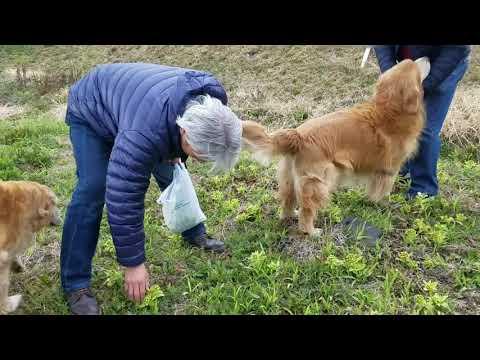 友人とお父様はフキノトウ。ゴールデンレトリバー新鮮土筆を生でいただきます