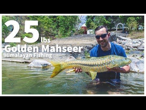 Himalayan Fishing - 25 Lbs Golden Mahseer .2017. Ramganga River. . Www.india-angling.com
