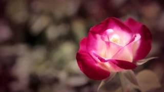 Dolce&Gabbana Velvet Rose - Fragrance for Women