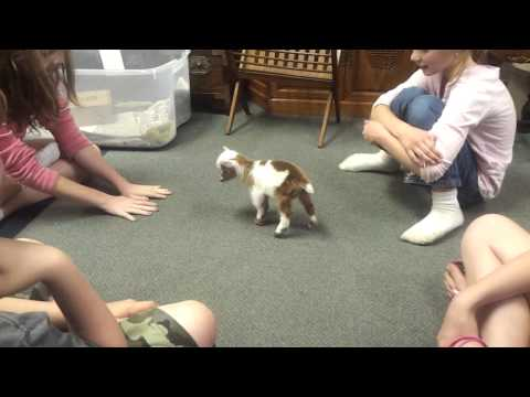Baby Goat Playing with the Kids