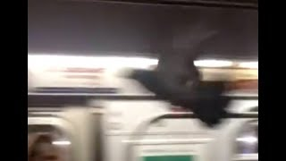 Pigeon Surprises NYC Subway Passengers