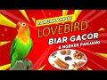 Cara Membuat Resep Ramuan Burung Lovebird Biar Ngekek Panjang Konslet Kicau Q  Mp3 - Mp4 Download