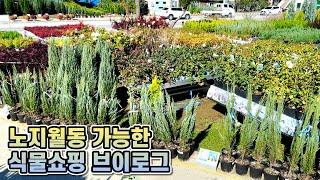 노지월동 가능한 정원식물 쇼핑 브이로그!! 방금 찍어온…