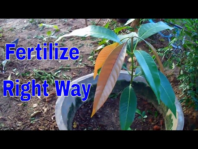 How to use NPK Fertilizer In Pots /Right Way to Feed Your Plants - 12 Sep 2017/Mammal Bonsai