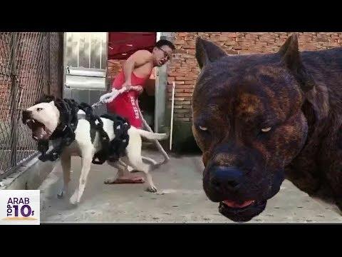 اخطر كلب بيتبول في العالم إياك ان تقترب منه
