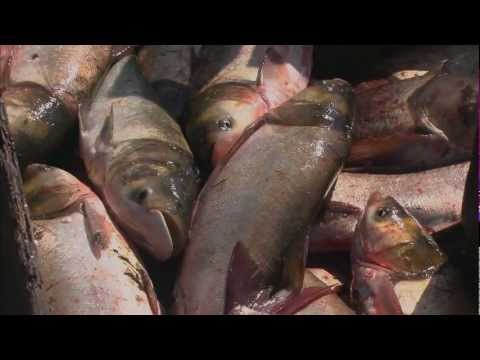 Asian Carp: Threat To Great Lakes - QUEST Wisconsin