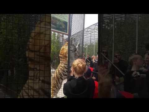 Тигр пытался напугать людей