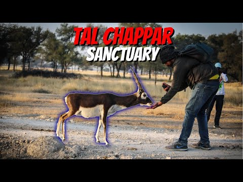 Tal Chappar Blackbuck Sanctuary | Tour of Rajasthan 2.0 | #blackbuck