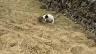 Border Terrier Rabbiting