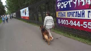 Собака-телохранитель,отработка навыка в городе.