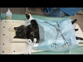[Cat videos]  Tortie cat spayed - before and after surgery