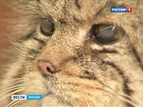 Талисманом Московского зоопарка стал манул