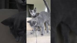 Питомник Русских Голубых кошек Ruzara  русские голубые котята