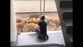 Whatsapp Viral Videos Lion Cubs