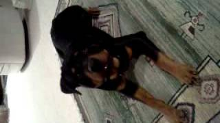Rottweiler Barking On Command