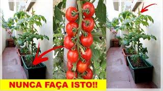 Saiba Como Cultivar Tomate e ter Lindos Frutos Orgânicos em Casa