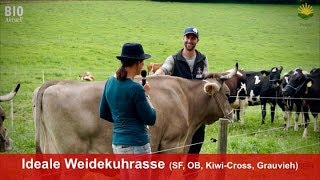 Die ideale Weidekuh: Swiss Fleckvieh, Original Braunvieh, KIWI-Cross oder Grauvieh?