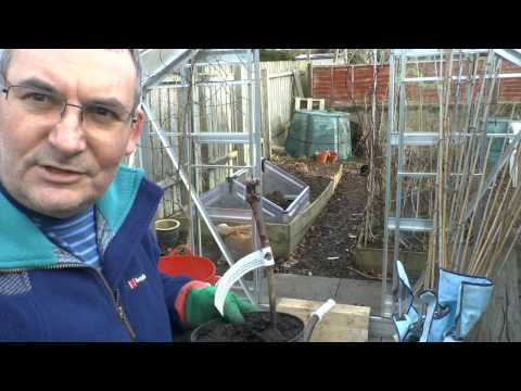 Growing Grapes in Scotland part 1