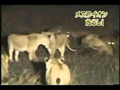male lion vs entire hyena clan! 4 nr=1 - YouTube