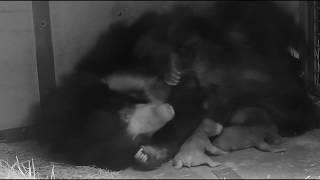 Meet the Sloth Bear babies!