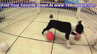 Boston Terrier, Puppies, For, Sale, In, Portland, Oregon, OR, McMinnville, Oregon City, Grants Pass,