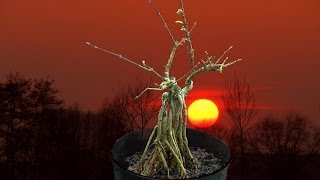 Bonsai repotting Forsythia umpflanzen
