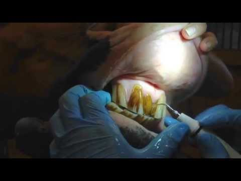Ultrasonic scaling of a horse's teeth
