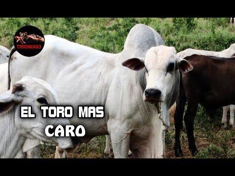 EL TORO MAS CARO DEL MUNDO Los Toros mas caros del mundo Toros Caros