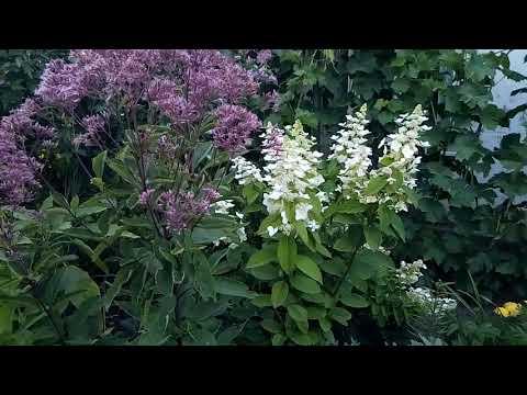 Посконник цветёт и радуется!где посадить, что любит, что кушает и с кем дружит?обсудим)))