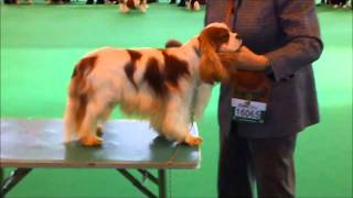 Crufts 2011 Cavalier King Charles Spaniel Part 1/3