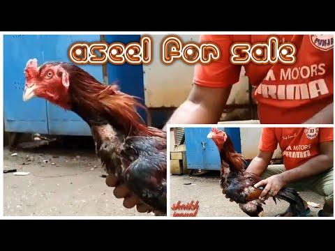Aseel for sale  aliaseelform in dharavi