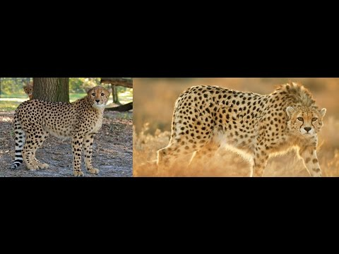 differences between african cheetah and asiatic cheetah