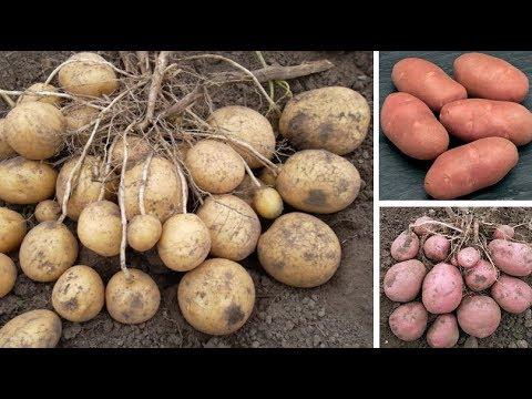 Картофель Удача, Ред Скарлет, Беллароза: популярные сорта российской и зарубежной селекции | картофеля | картофель | беллароза | картошка | белароза | хорошая | скарлет | лучшие | удача | сорта