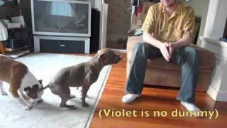 Dinner Torture (staffordshire Bull Terrier)