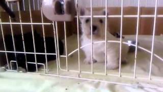 2011年4月9日に生まれた スコッチテリアの仔犬 ウィトーンとブラック兄弟.